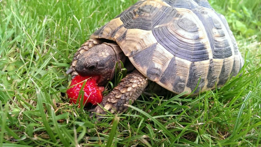 Schildkröte im Garten